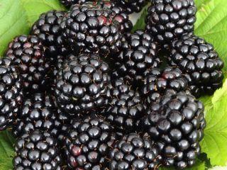 LEACURI DIN NATURĂ | Mure (Rubus fruticosus)