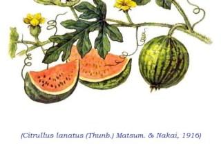LEACURI DIN NATURĂ | Pepenele (Citrullus lanatus)