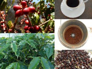 LEACURI DIN NATURĂ | Cafea (Coffea arabica)