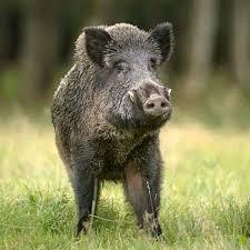 Alertă! Două noi focare de pestă porcină africană în județul Sibiu