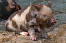 Două focare de Pestă Porcină Africană în Șura Mică și Șeica Mare