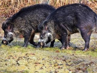Focar de pestă porcină africană la un fond de vânătoare al Ocolului Silvic Jina
