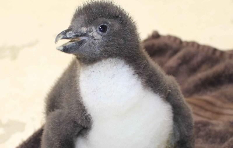 54 ting unge, uerfarne pingvinentusiaster bør vite før de drar til Atlanterhavsparken