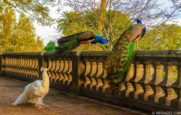 Peacock Images | Sharing Art Messages With the World ...