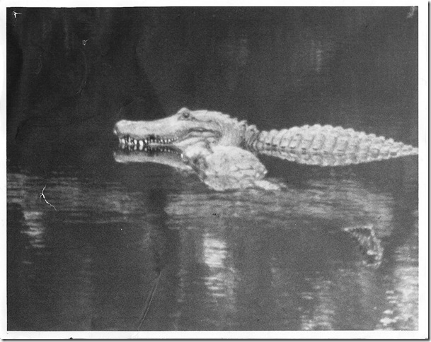 Alligators Feb. 1989