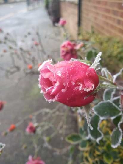Rose covered in frost