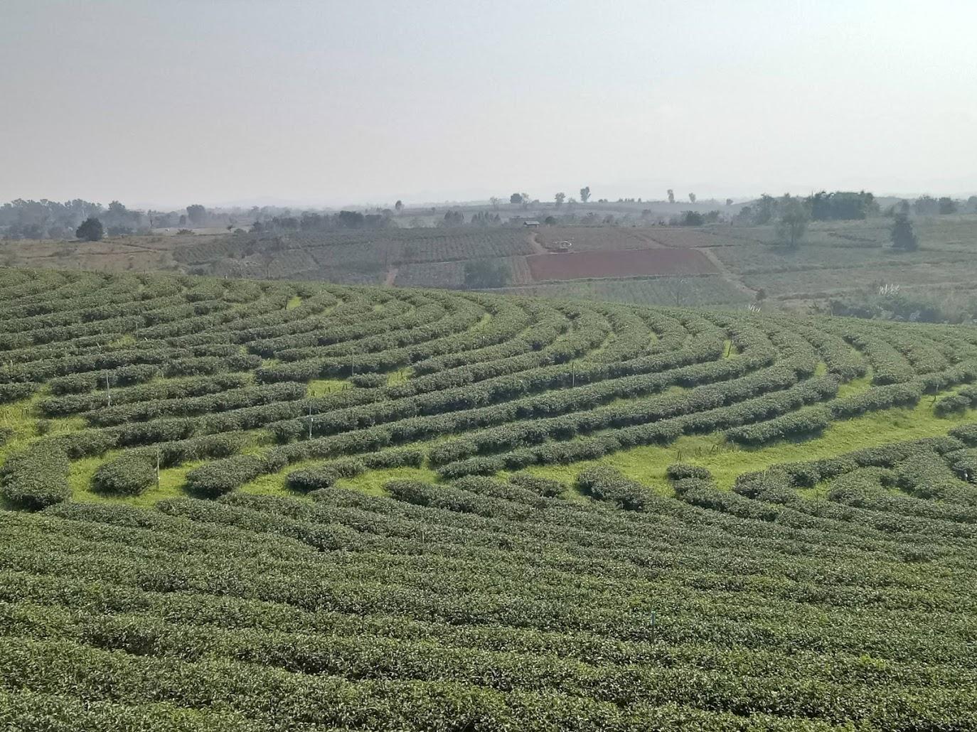 CHOUNI FONG TEA FARM
