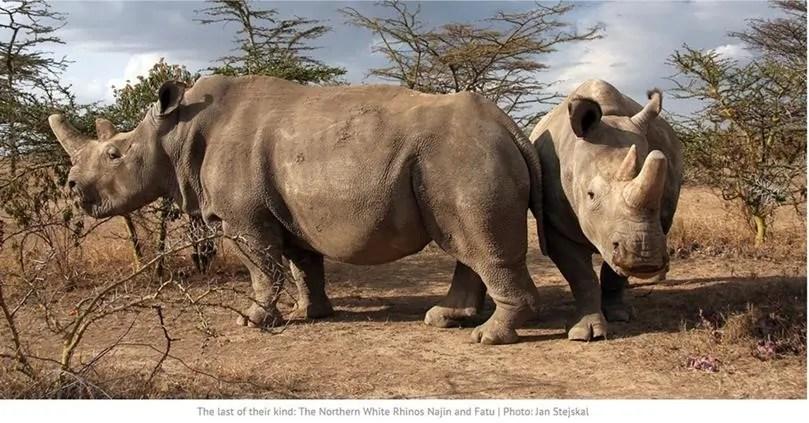 Risultati immagini per Merck collabora al progetto BioRescue per impedire l'estinzione dei rinoceronti bianchi settentrionali