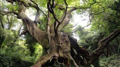 """Photo of """"Tree of the year"""", la Regione sostiene la corsa del Platano di Curinga"""