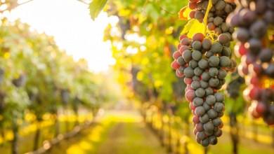 Photo of Settore vitivinicolo, in arrivo più di 1 milione di Euro