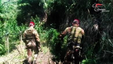 Photo of Carabinieri di Locri scoprono tre piantagioni di marijuana