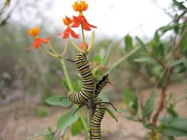 larvas-de-danaus-plexippus