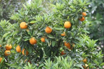 citrus ssp