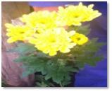 flores-amarillas-4