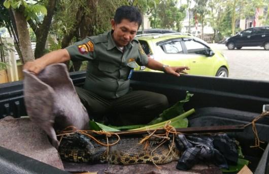 Petugas BKSDA Kalbar kala mengevakuasi buaya berusia 23 tahun dari rumah warga di Pontianak.