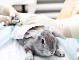 Očkování bytového králíka