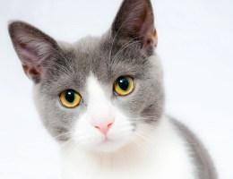Kastrace kočky: Nejčastější otázky aodpovědi chovatelů koček