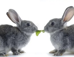 Kastrace králíka aramlic