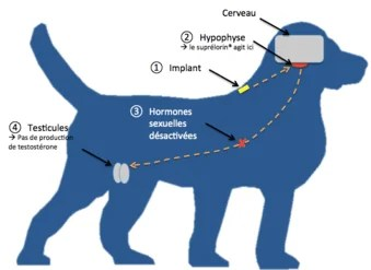 Chemická kastrace psa a kocoura