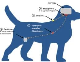 Chemická kastrace psa akocoura