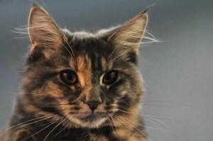 želvovinová kočka