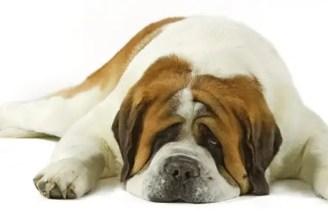 selhání ledvin u psa