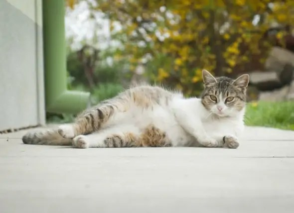 potrat u kočky