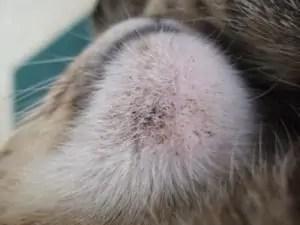 kočičí akné