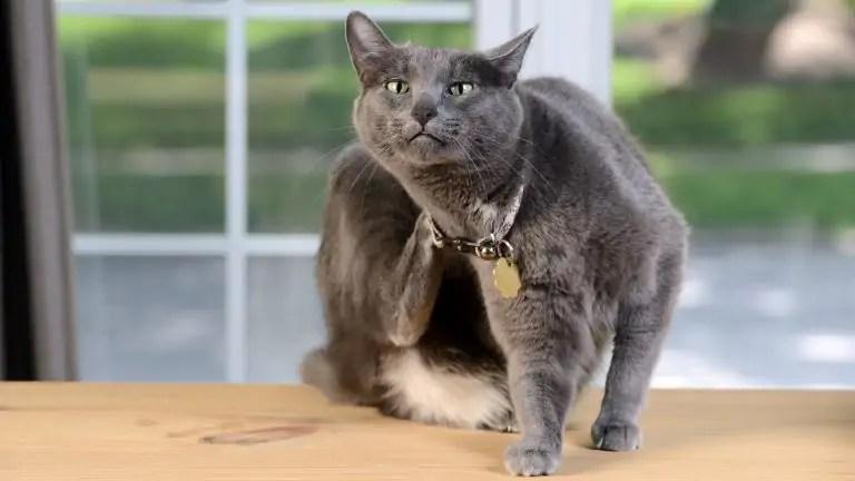 Lízat pevnou kočičku