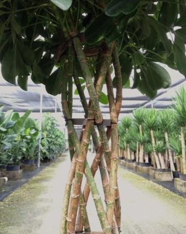 Schefflera Arboricola Open Weave Topiary Detail