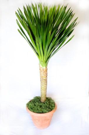 Dracaena Arborea Care