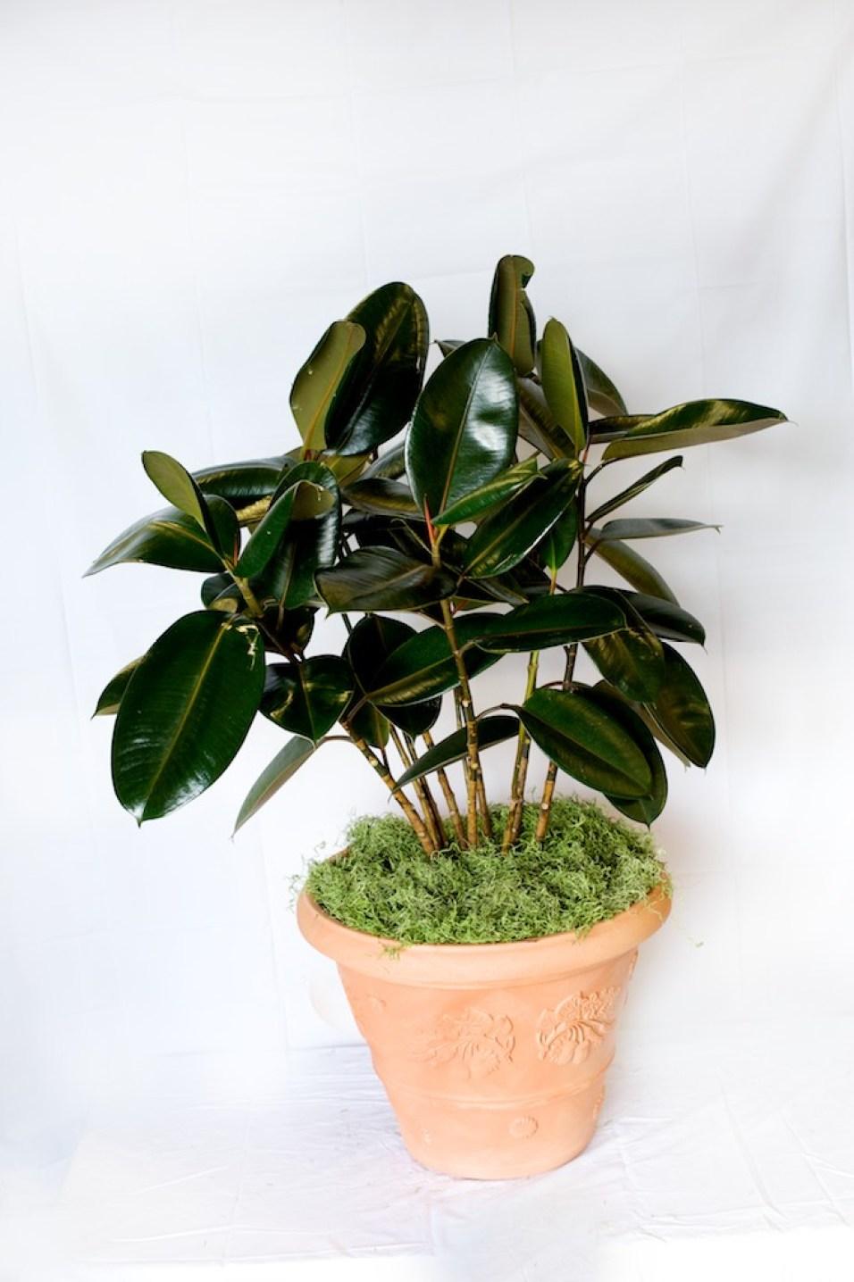 Ficus Care Instructions Metropolitan Wholesale