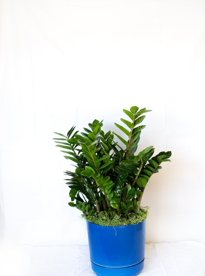 ZZ Plant Care - Metropolitan Wholesale | Metropolitan ... on Zz Plant Care  id=36227