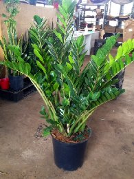 ZZ Plant Care - Metropolitan Wholesale | Metropolitan ... on Zz Plant Care  id=33631