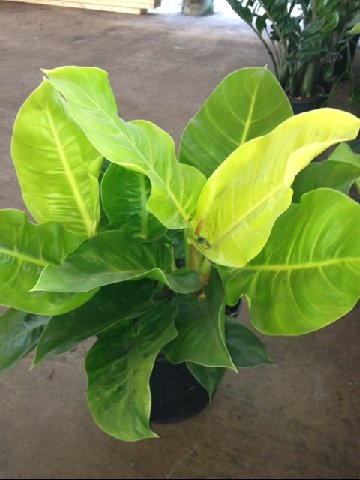 Philodendron Moonlight