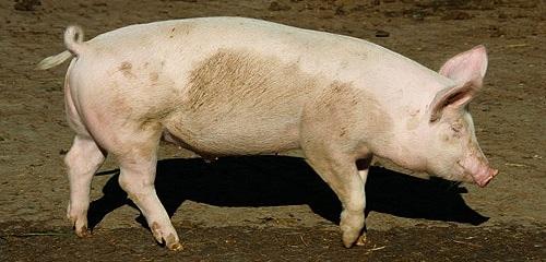 schwein-1