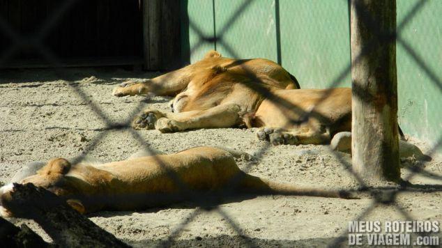 Leões no Zoológico de Balneário Camboriú