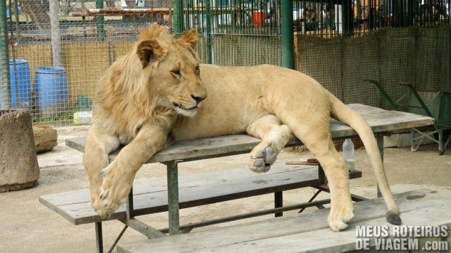 Leão no Zoo Luján - Buenos Aires