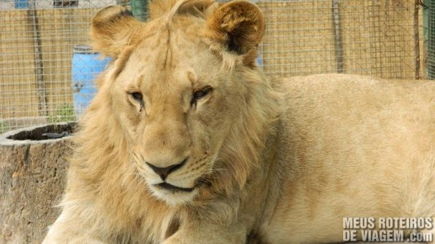 Leão observando