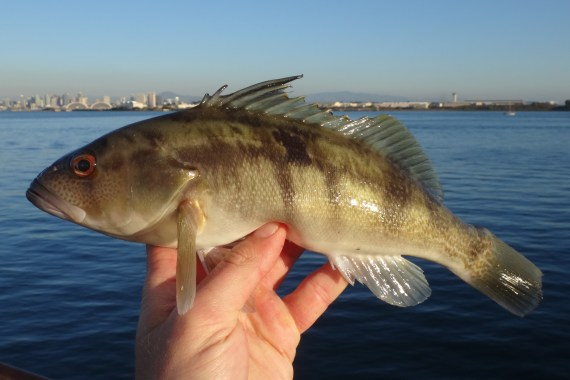 f016-barred-sand-bass-6