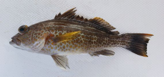 Goldspotted Sand Bass (3)