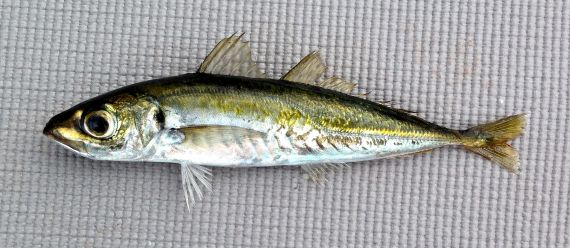 Jack Mackerel, Trachurus symmetricus: Fish provided by Dan, F/V Plan B Sustainable Fisheries, San Diego, November 2014. Length: 20.1 cm (7.9 inches).