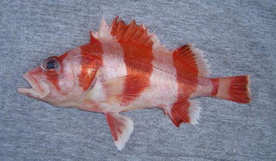 F302-Flag Rockfish (1)