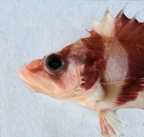 Flag Rockfish (5)