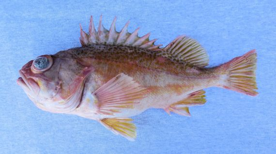 Greenblotched Rockfish (1)