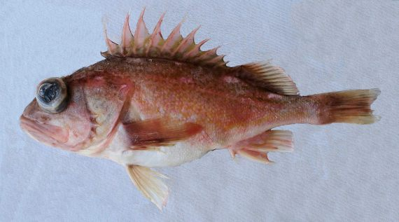 Greenblotched Rockfish (3)