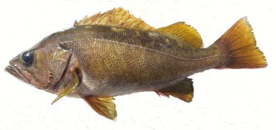 Yellowtail Rockfish (1)