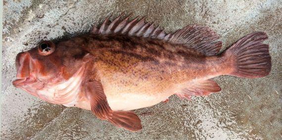 Brown Rockfish (1)