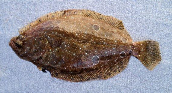 Foureye Flounder (1)