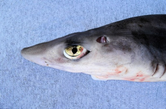 Pacific Spiny Dogfish (3)